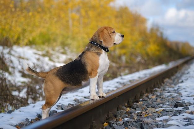 Beagle-hund, der mit seinen pfoten auf den schienen im herbstwald steht