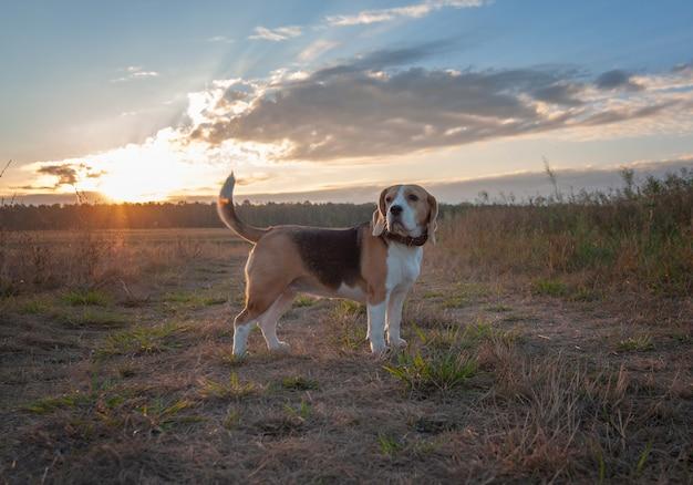 Beagle hund früh am morgen im morgengrauen beim gehen