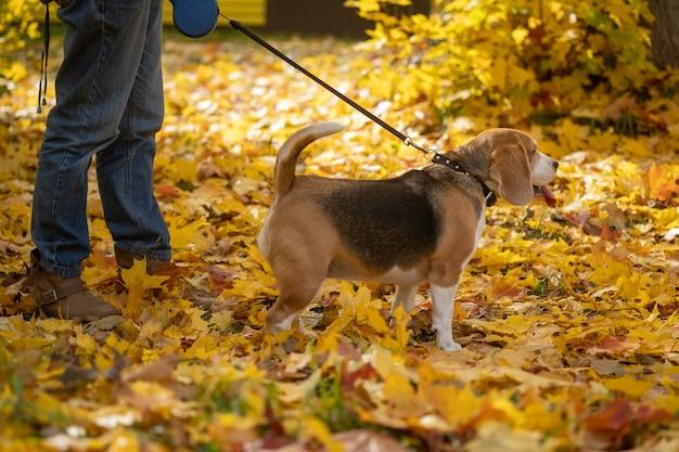 Beagle hund geht mit seiner geliebten an der leine