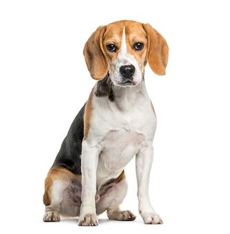 Beagle-hund im porträt gegen weißen hintergrund