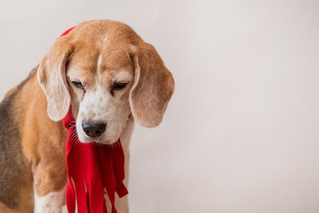 Beagle-hund im roten schalporträt auf hellgrauem hintergrund. nahansicht.