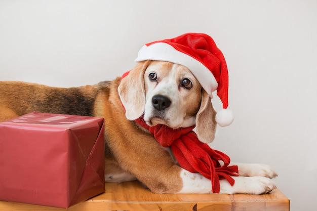 Beagle-hund in der weihnachtsmütze und im roten schalporträt mit weihnachtsgeschenk