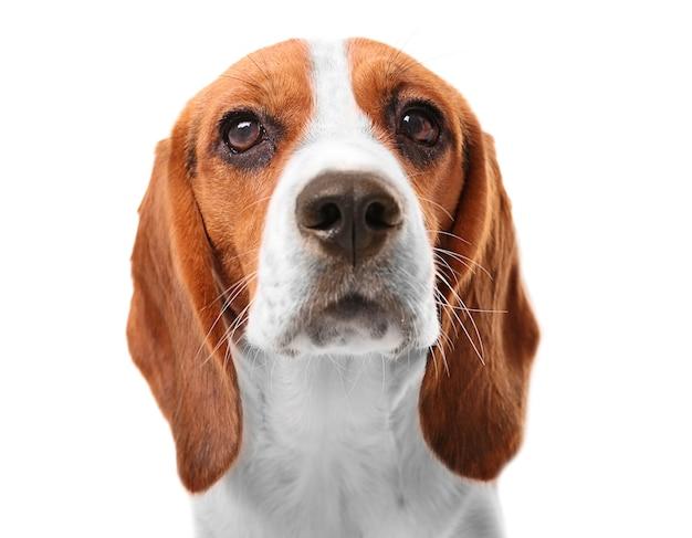 Beagle-hund isoliert auf weiß