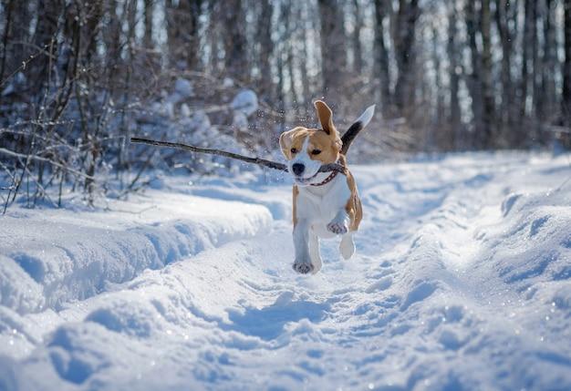 Beagle-hund läuft und spielt im winterwald an einem sonnigen frostigen tag