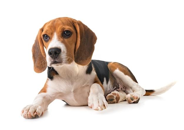 Beagle-hund lokalisiert auf weiß
