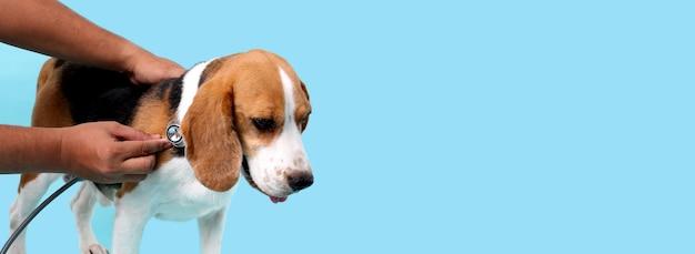 Beagle-hund mit stethoskop als tierarzt