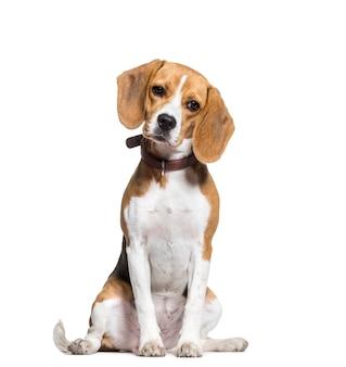 Beagle hund sitzen, ausgeschnitten