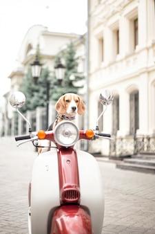 Beagle-hund sitzt auf einem retro-moped vor dem hintergrund einer stadtstraße