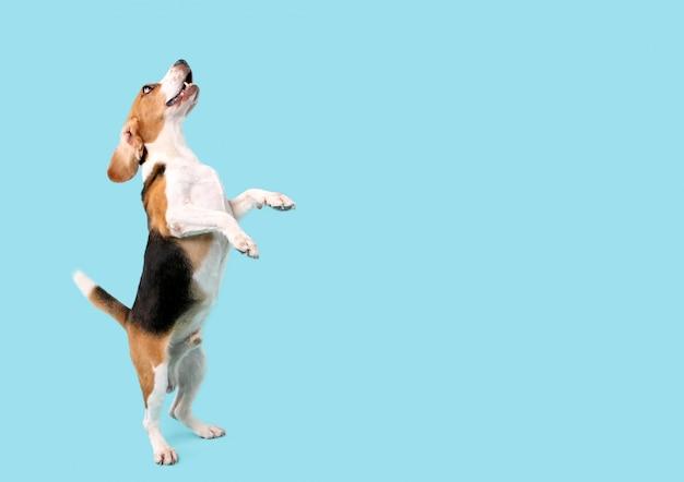 Beagle-hund sprang auf blauen hintergrund