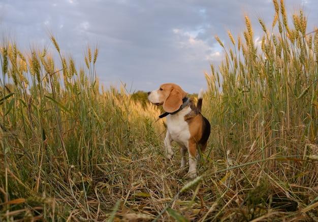 Beagle-hund unter den roggenohren an einem sommerabend bei sonnenuntergang