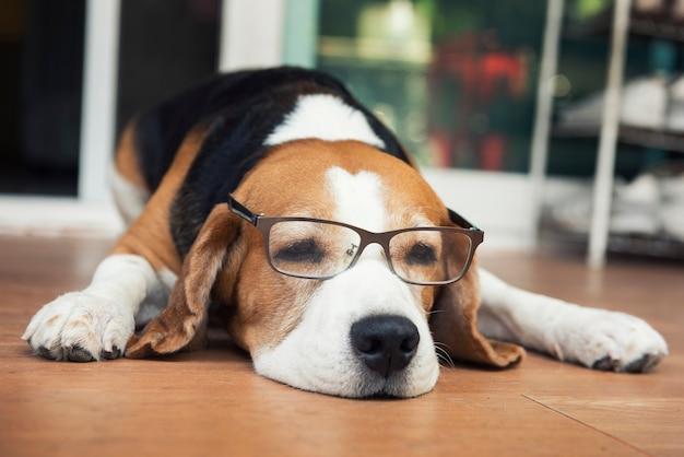 Beagle-hunde mit brille auf dem holzboden liegend