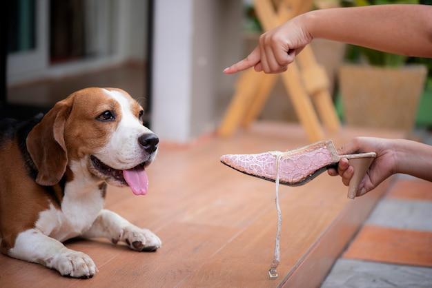 Beagle-hunde werden aus mangel an schuhen beschimpft