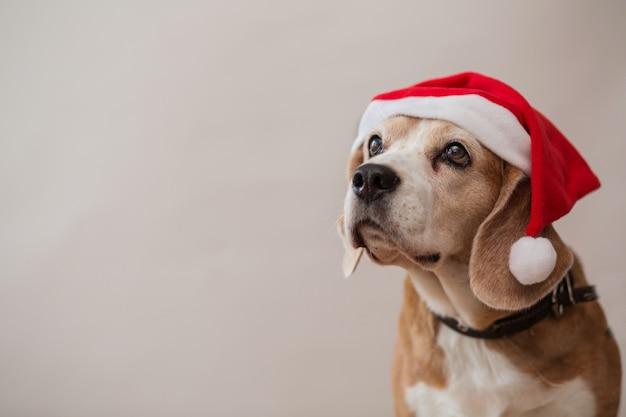 Beagle hundekopf, der porträt auf hellgrauer wand nach oben schaut. nahansicht.