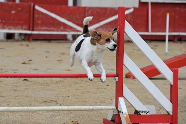 Beagle im agility-wettbewerb