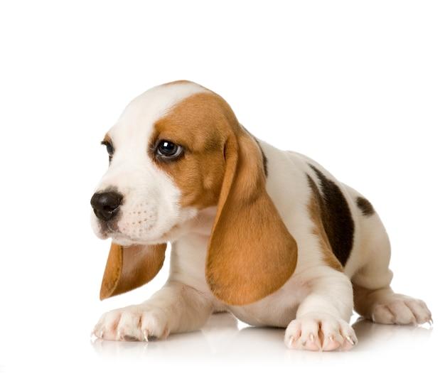 Beagle isoliert auf weiß