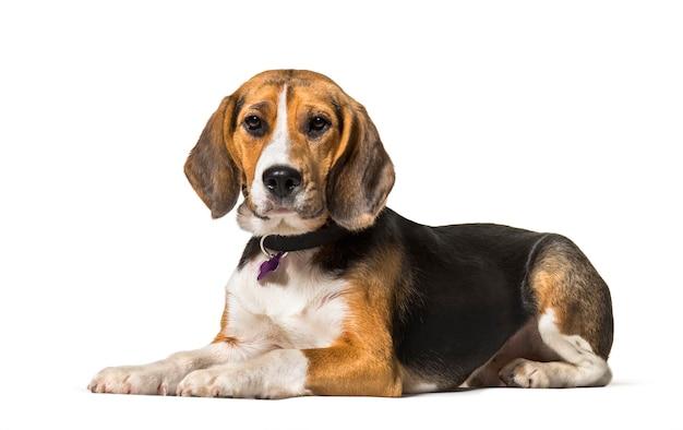 Beagle liegt vor weiß