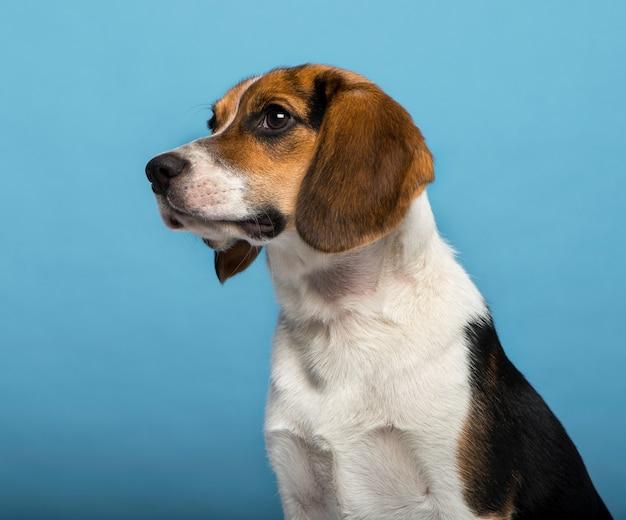 Beagle lokalisiert auf blauem hintergrund