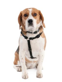 Beagle mit 2 jahren. hundeporträt isoliert