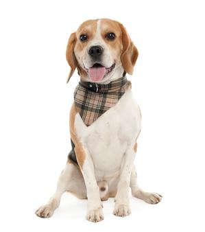 Beagle mit 20 monaten alt. hundeporträt isoliert