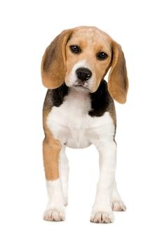 Beagle mit 3 monaten. hundeporträt isoliert