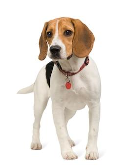 Beagle mit 8 monaten. hundeporträt isoliert