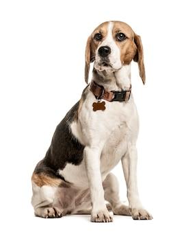 Beagle mit kragen sitzt isoliert