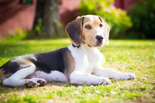 Beagle-porträt