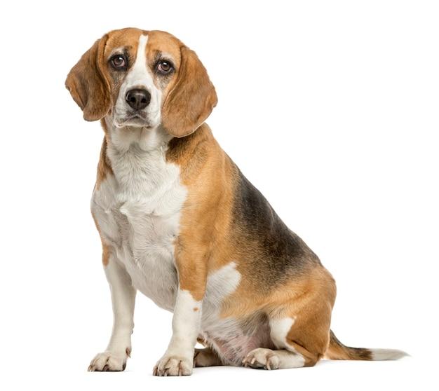 Beagle sitzt vor einer weißen wand