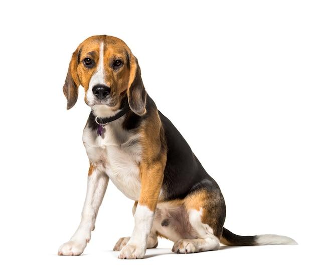Beagle sitzt vor weiß