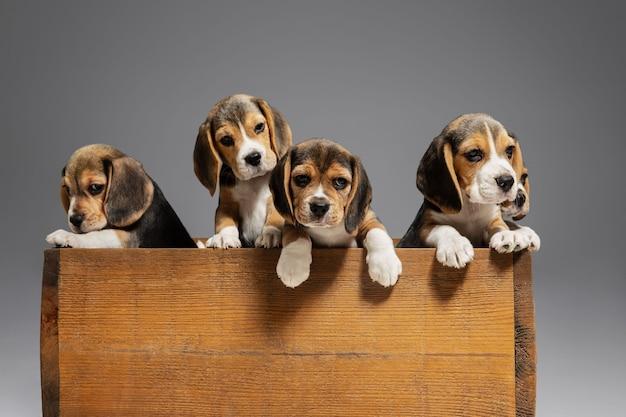 Beagle tricolor welpen posieren in einer holzkiste. nette hündchen oder haustiere, die auf grauem hintergrund spielen.