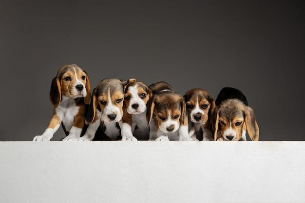 Beagle tricolor welpen posieren. süße weiß-braun-schwarze hündchen oder haustiere, die auf grauer wand spielen. sehen sie aufmerksam und verspielt aus. konzept der bewegung, bewegung, aktion. negativer raum.