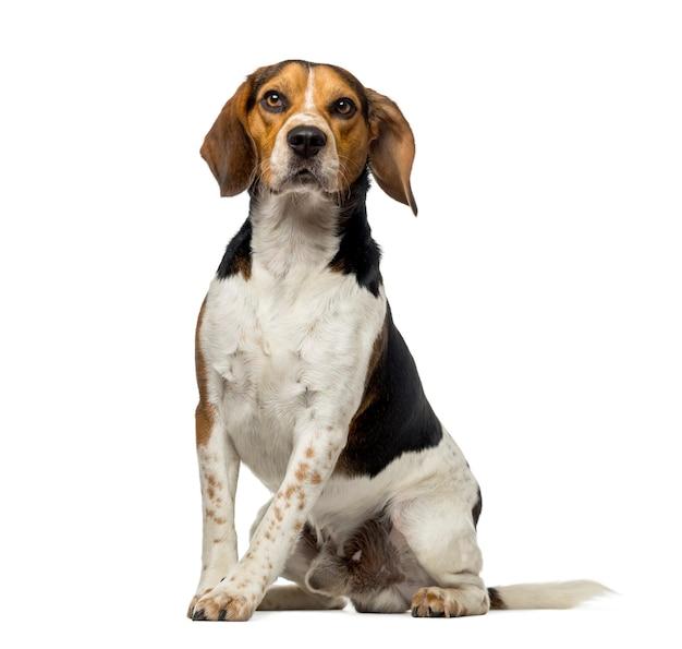 Beagle vor einer weißen wand
