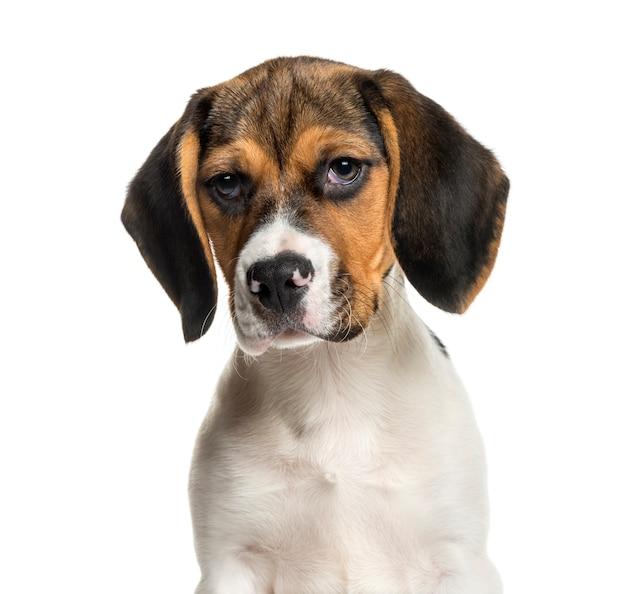 Beagle vor weißer wand