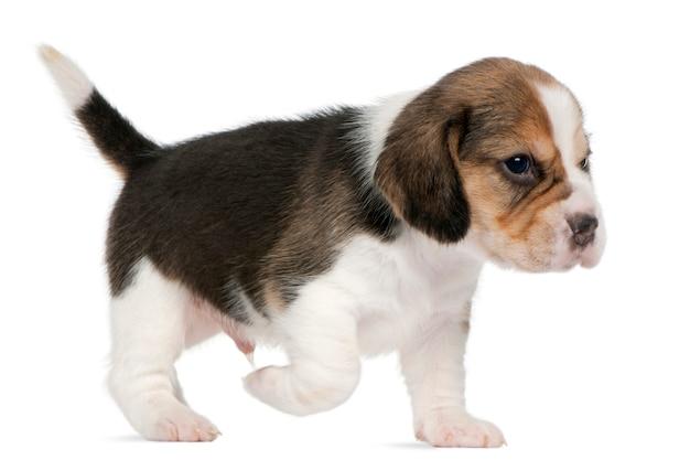 Beagle welpe, 1 monat alt, läuft