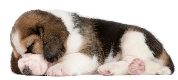 Beagle welpe, 1 monat alt, liegend