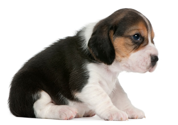 Beagle welpe, 1 monat alt, sitzend