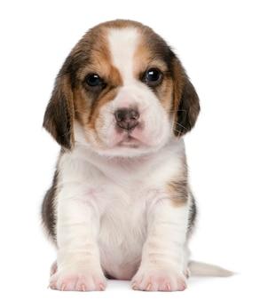 Beagle welpe, 1 monat alt, sitzend Premium Fotos