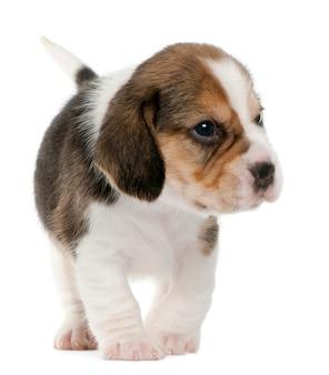 Beagle welpe, 1 monat alt, stehend