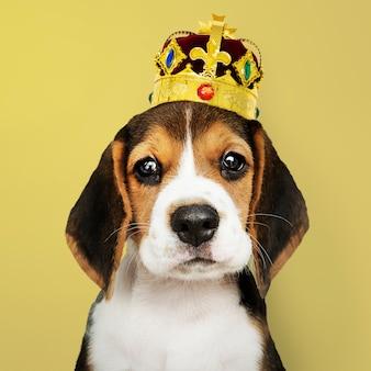 Beagle-welpe mit krone