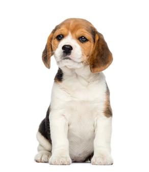 Beagle welpe, sitzend, isoliert auf weiß Premium Fotos