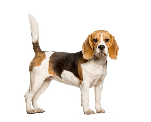 Beagles hund, der gegen weiß steht