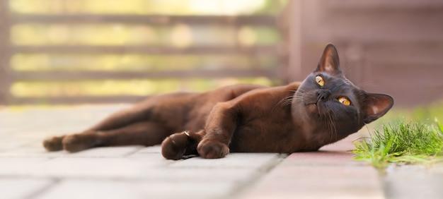 Beautifu brownl birmanische katze, die im freien liegt und neugierig etwas mit großen orangefarbenen augen betrachtet.