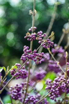 Beautyberry - callicarpa mit lila beeren (callicarpa americana)
