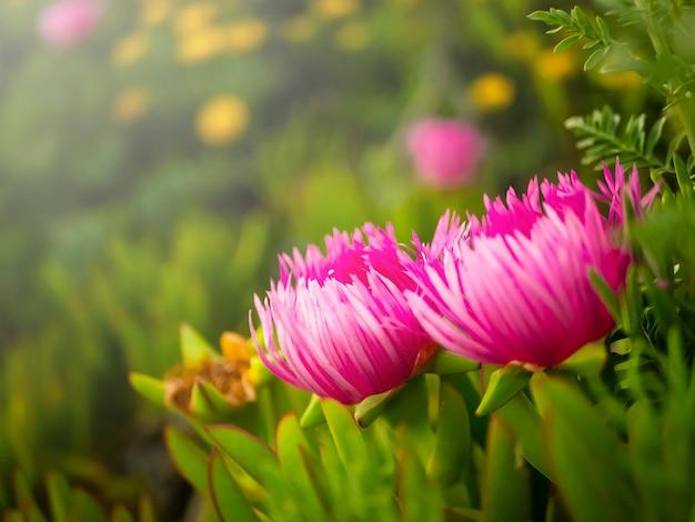 Beavertail-kaktus opuntia basilaris. kaktusfeigekaktus-rosablume in der blüte.