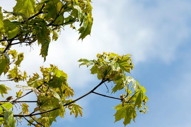 Bedeckt mit dichtem laub und blüten junger ahornzweige im frühjahr