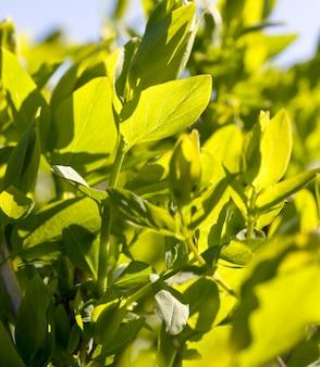 Bedeckt mit grünen blättern im frühling oder sommer, angenehm schöne natur und frische luft