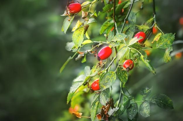 Beeren der reifen hunderose auf busch auf verschwommen