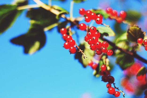 Beeren der roten johannisbeere auf einem busch gegen blauen himmel im sommergarten