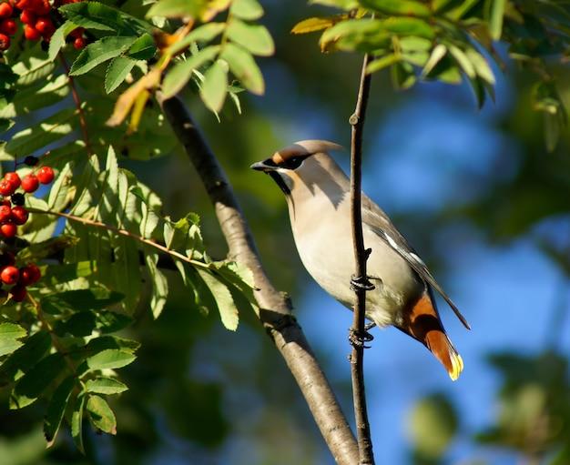 Beeren einer eberesche und eines vogels