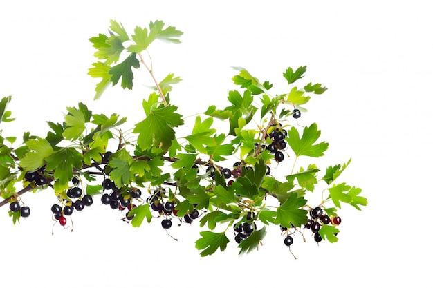 Beeren schwarze johannisbeere mit grünem blatt. frisches obst, lokalisiert auf weiß